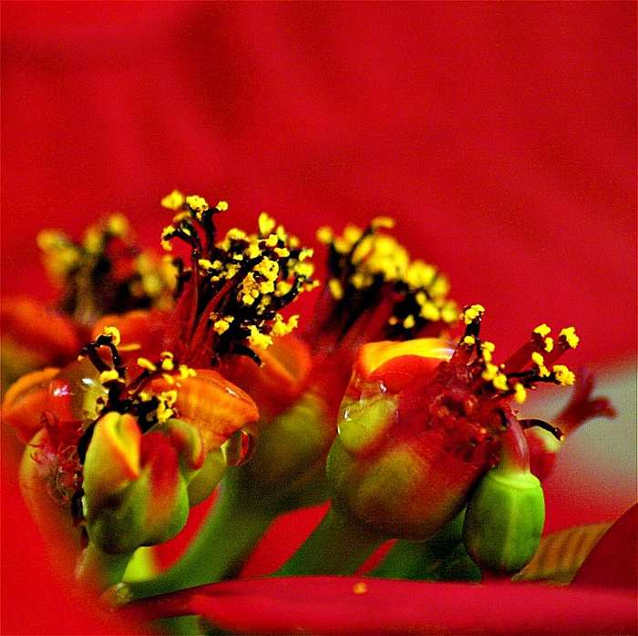 plantas-para-navidad-poinsettia-3