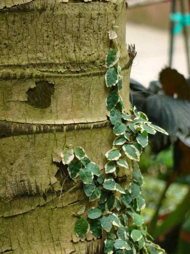 Plantas trepadoras enamorada del muro o ficus pumila for Plantas trepadoras de jardin