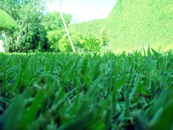 tips-interesantes-cesped-resistente-grama-bahiana-brasilera