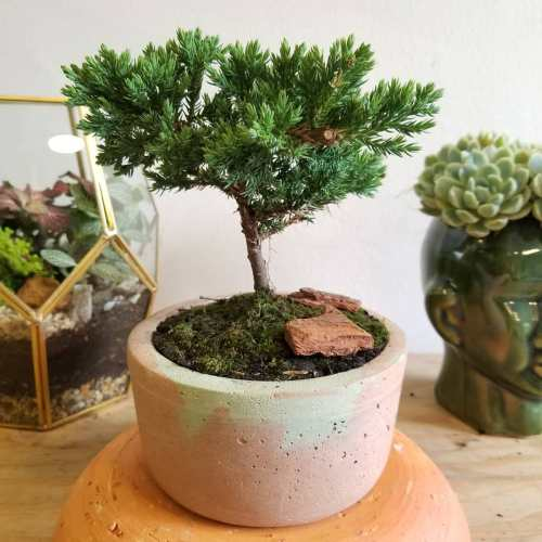 Bonsai de pino en matera de concreto