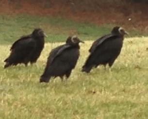 3 vultures