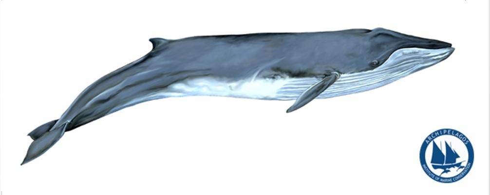 pterofalaina Skitso2