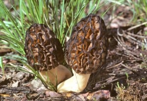 Morchella elata type edited