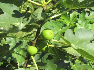 The figs weren't quite ripe yet either. They'll be delicious!