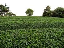 A tea plantation in the hillside.