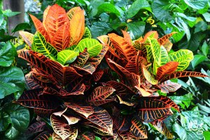 Cróton-Plantas-Ornamentais---Cascalheira-Garden---Paisagismo-e-Jardinagem - Cascalheira Garden - Jardinagem e Paisagismo Camaçari