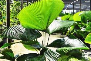 Palmeira-leque-Plantas-Ornamentais---Cascalheira-Garden---Paisagismo-e-Jardinagem - Cascalheira Garden - Jardinagem e Paisagismo Camaçari