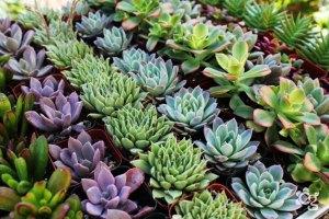 Suculentas---Plantas-Ornamentais---Cascalheira-Garden---Paisagismo-e-Jardinagem - Cascalheira Garden - Jardinagem e Paisagismo Camaçari