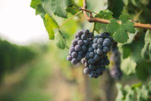 Degustazioni e visite guidate Produttori di Vino a Neive Azienda Agricola fratelli Toso