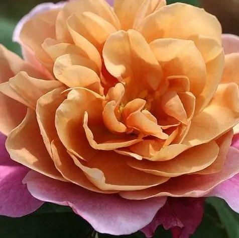 Cele mai neobisnuite soiuri de trandafiri din gradina