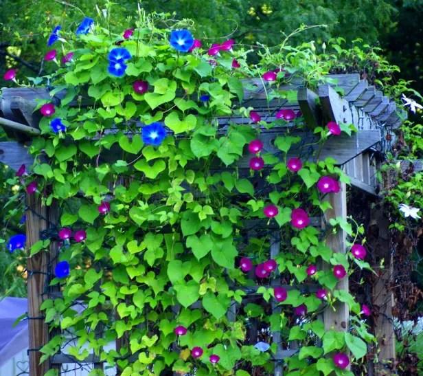 Plante cataratoare pentru pergole in gradina