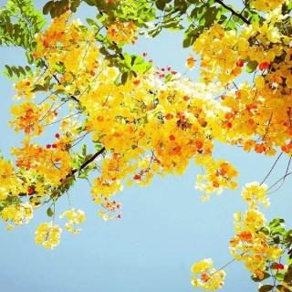 Arbori ornamentali cu flori galbene in gradina