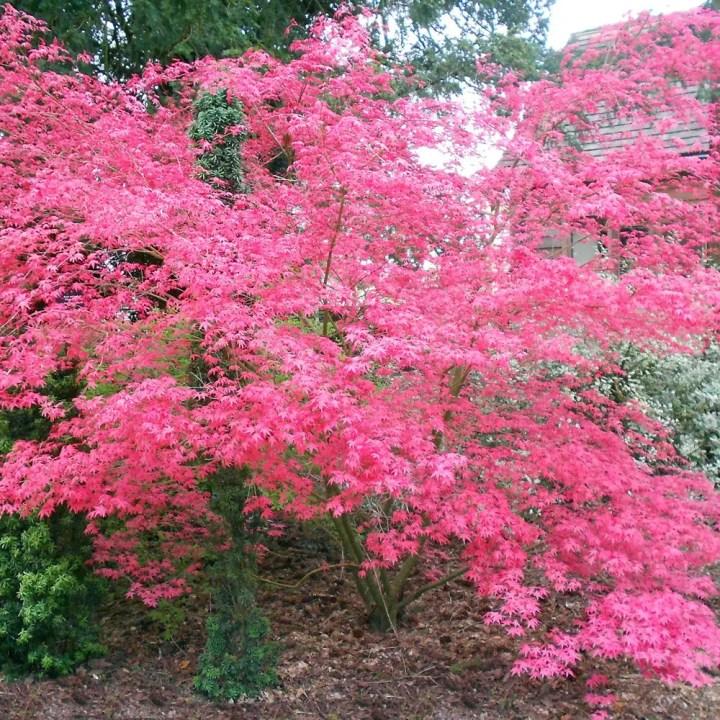 Arbori ornamentali cu frunze rosii in parc
