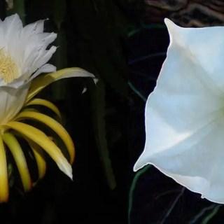 Plante care infloresc noaptea in gradina
