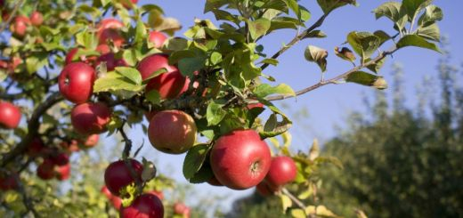 Plantarea corecta a pomilor fructiferi toamna