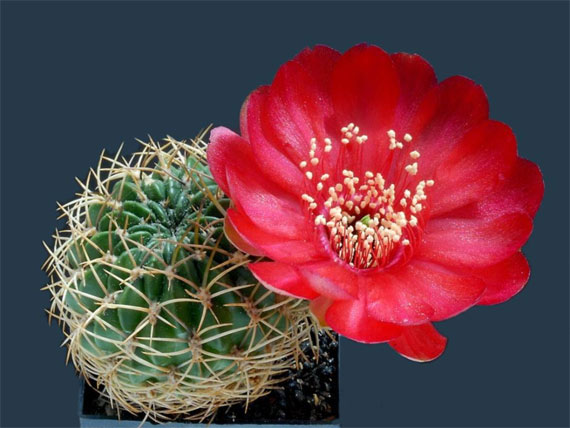 cei mai frumosi cactusi The most beautiful cactus flowers 10