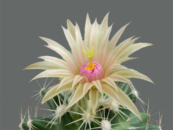 cei mai frumosi cactusi The most beautiful cactus flowers 7