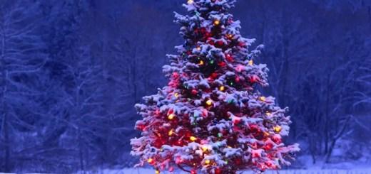Curiozitati despre bradul de Craciun iarna