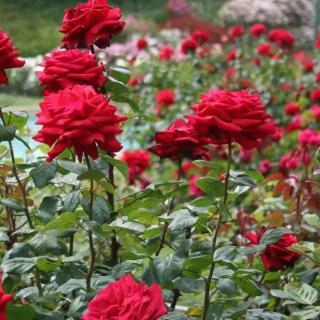Cand se planteaza trandafirii in gradina