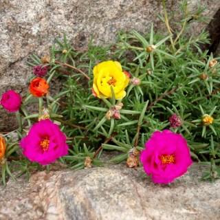 Flori de piatra in gradina