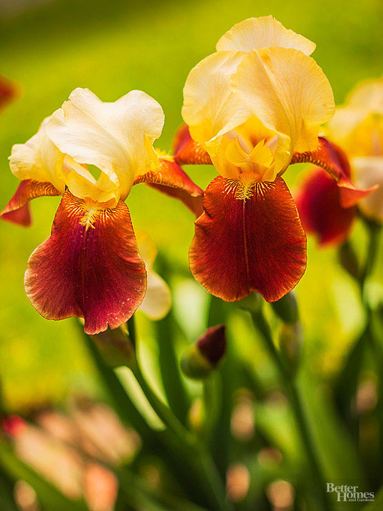 Flori care infloresc de primavara pana toamna - irisul