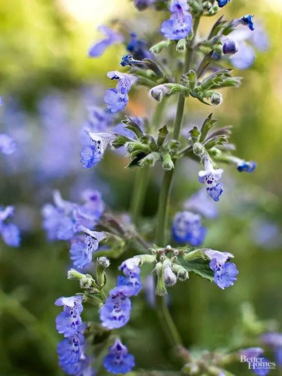 Flori care infloresc de primavara pana toamna - menta pisicii