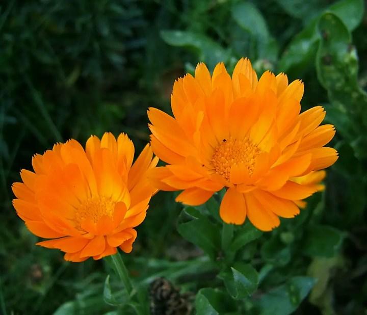 Galbenelele, pe lista de plante care alunga tantarii FOTO: Wildfeuer/Wikimedia Commons