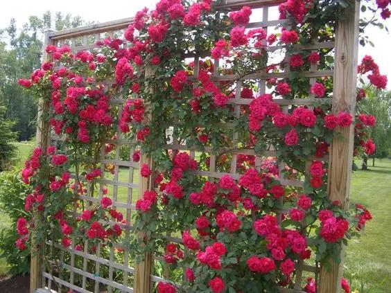 bolte pentru trandafiri cataratori Climbing rose trellis 2