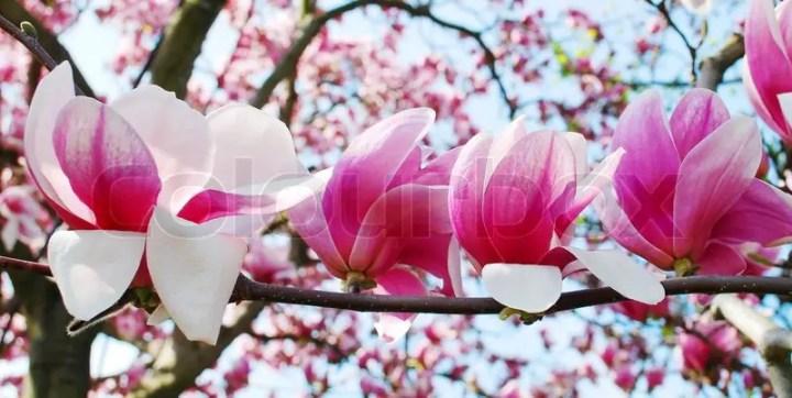 Flori care cresc pe trunchi - magnolia