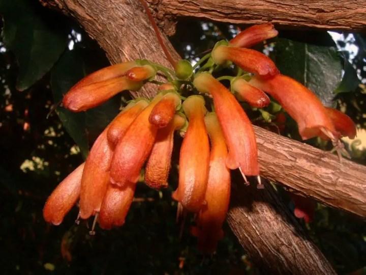 Flori care cresc pe trunchi - fuchsia