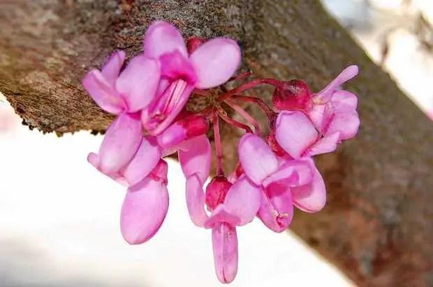 Flori care cresc pe trunchi - arborele lui Iuda