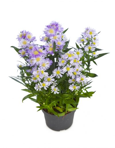 potted-aster-400x514