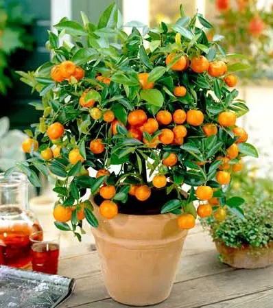 pomi fructiferi pitici portocal pitic