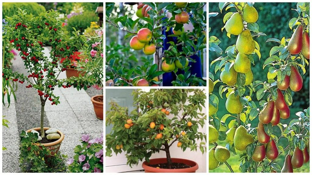 pomi fructiferi pitici soiuri diverse