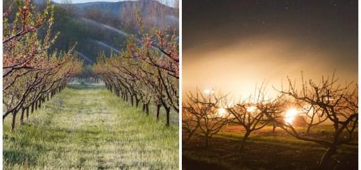 cum protejezi pomii in noptile friguroase
