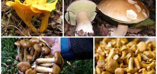 idei de afaceri cu ciuperci de padure