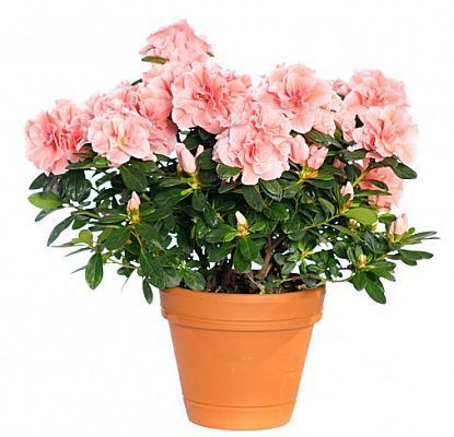 cele mai sanatoase flori de camera