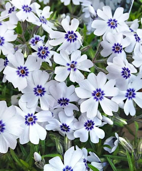 plante covor cu multe flori