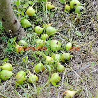 De ce cad fructe din pomii fructiferi in luna iunie
