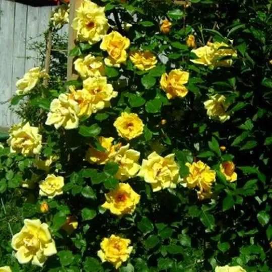 plante cataratoare cu flori