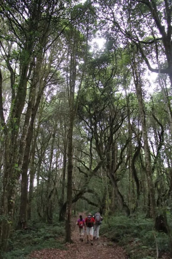 A shot of the tall trees bordering the path through Montane Forest in the first part of  Mount Kilimanjaro