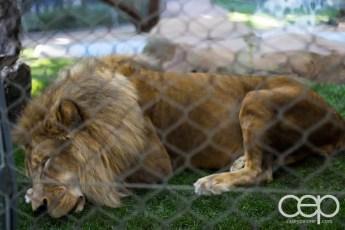 Siegfried & Roy's Secret Garden and Dolphin Habitat — Lion