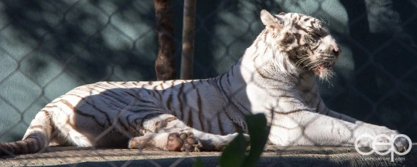 Siegfried & Roy's Secret Garden and Dolphin Habitat — White Tiger