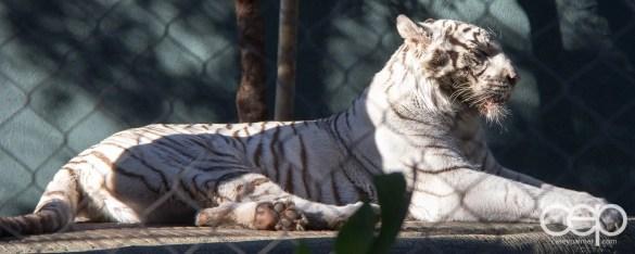 Siegfried & Roy's Secret Garden and Dolphin Habitat — White Tiger