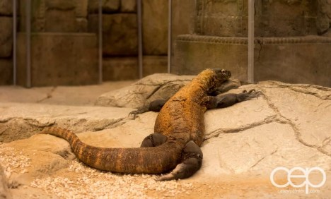 Shark Reef Aquarium at Mandalay Bay — Komodo Dragon