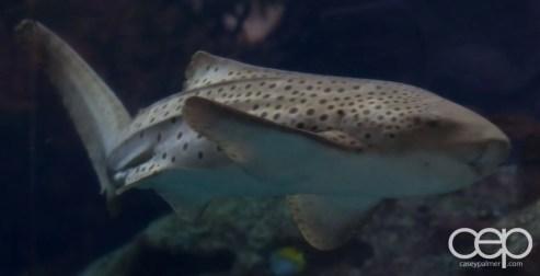 Shark Reef Aquarium at Mandalay Bay — Zebra Shark