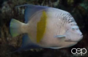 Shark Reef Aquarium at Mandalay Bay — Arapaima