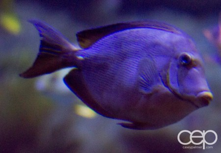 Shark Reef Aquarium at Mandalay Bay — French Angelfish