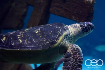 Shark Reef Aquarium at Mandalay Bay — Green Sea Turtle