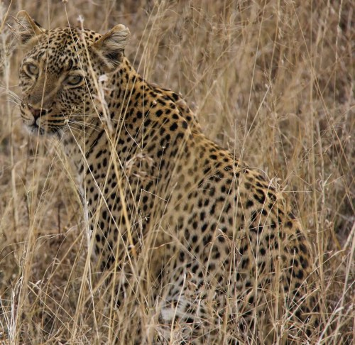 60 Days in Paradise — Tanzania — Leopard